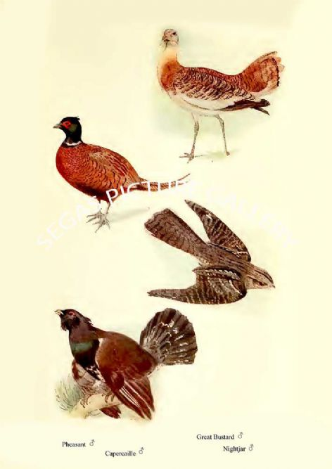 Fine art print of the Pheasant, Capercaille, Great Bustard & Nightjar by William Foster (1922)